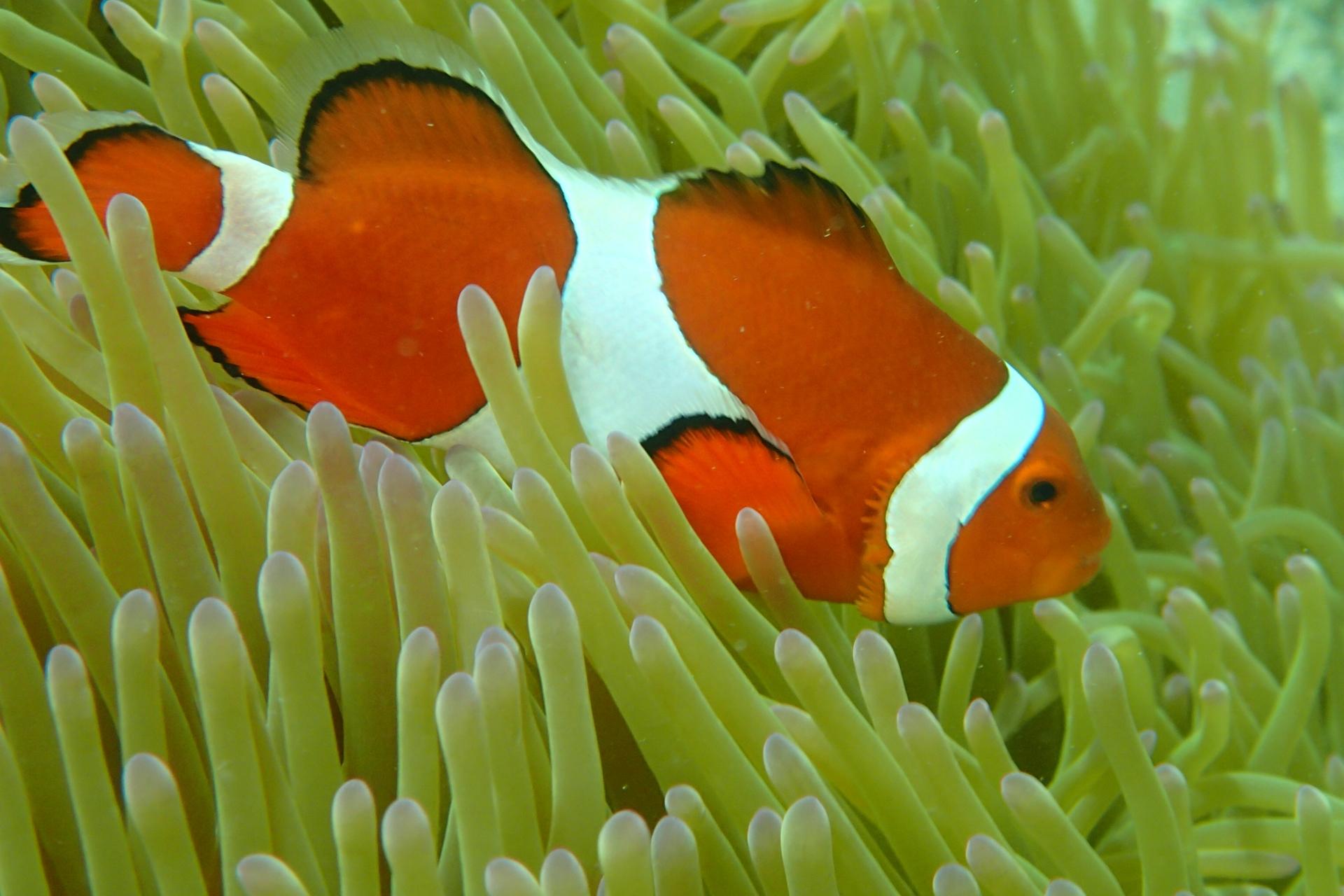 海洋生物知識普及–小丑魚