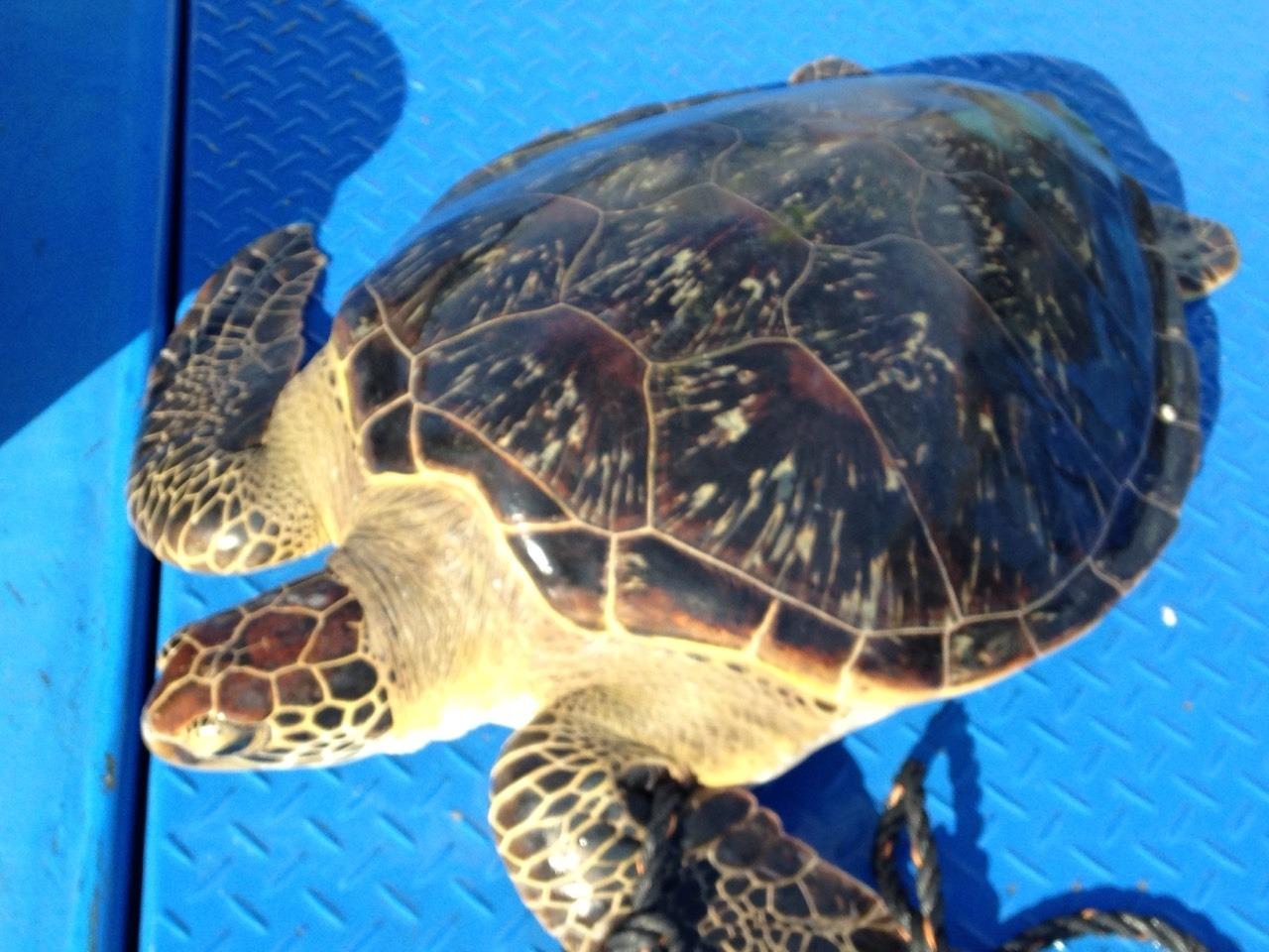 都屋漁港偶遇海龜