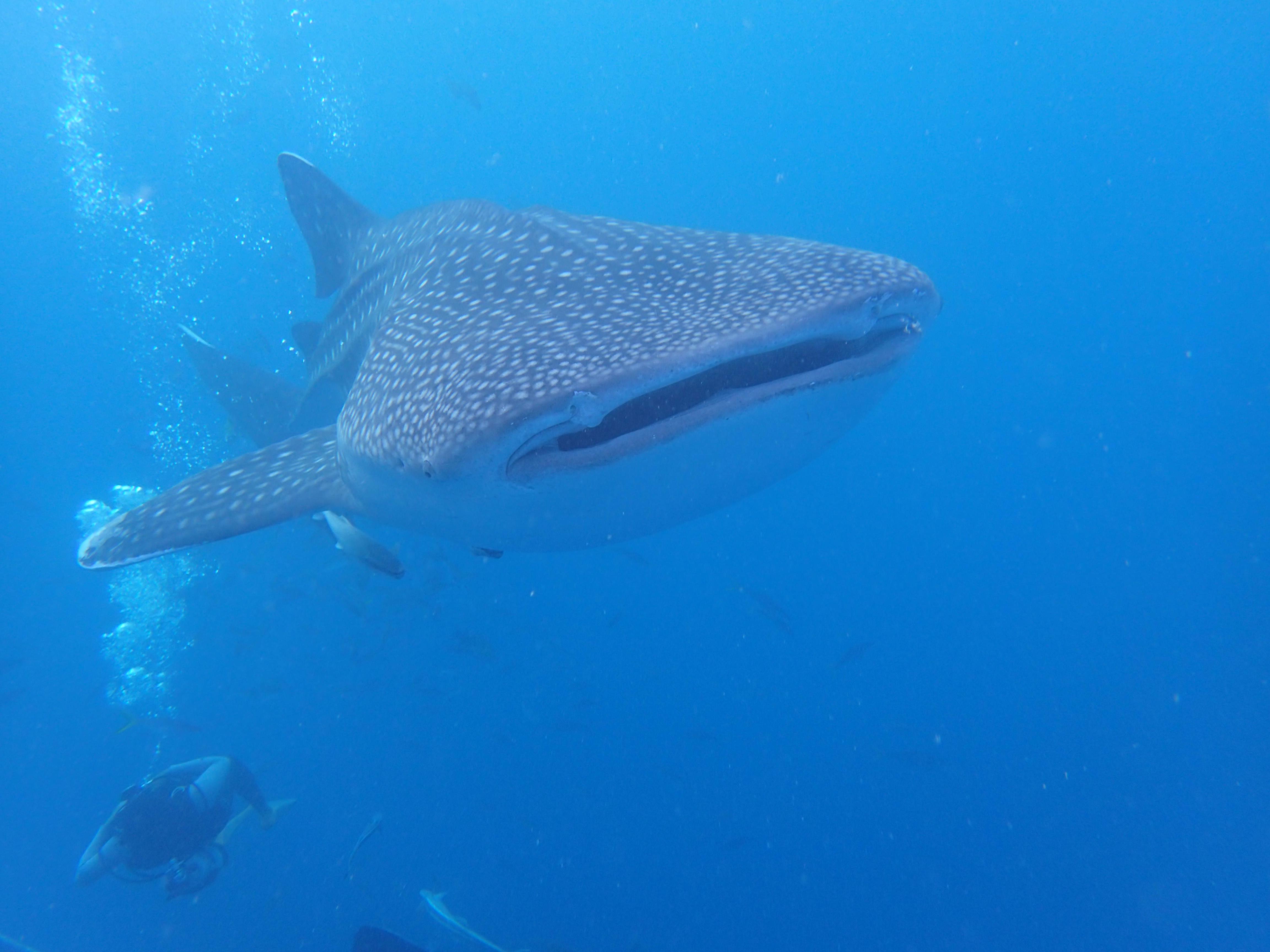 2014.11.01.鯨鯊潛水錄像2