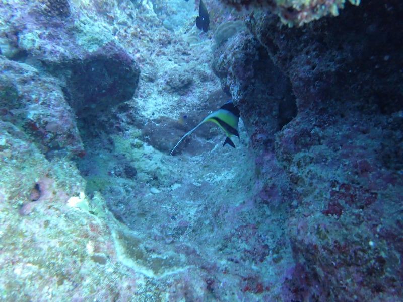 喜歡捉迷藏的熱帶魚