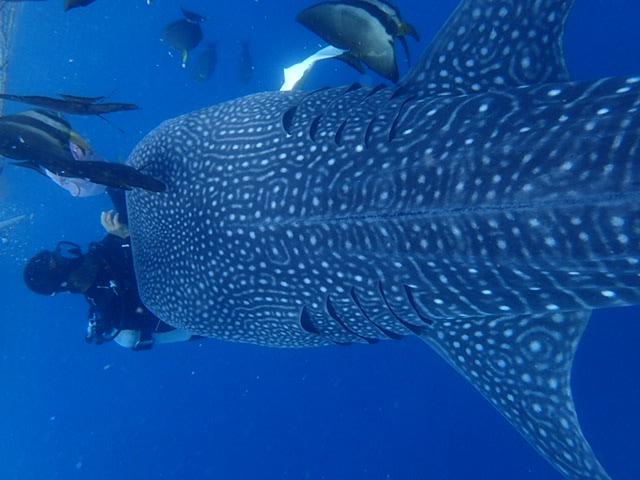 鲸鲨体验潜水