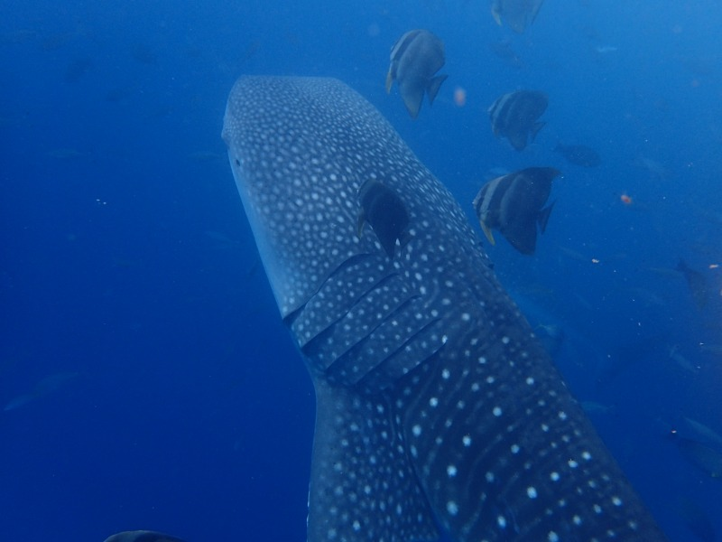 2015.8.26鯨鯊體驗潛水
