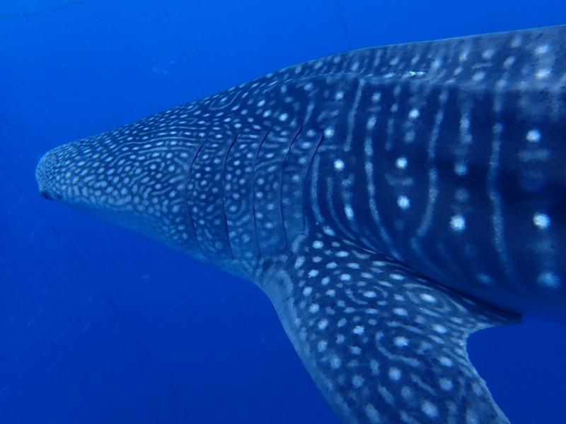 2015.9.2鯨鯊體驗潛水