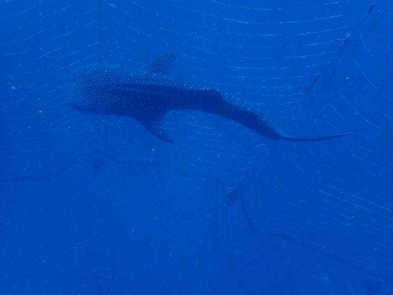2015.9.13早上鯨鯊體驗潛水
