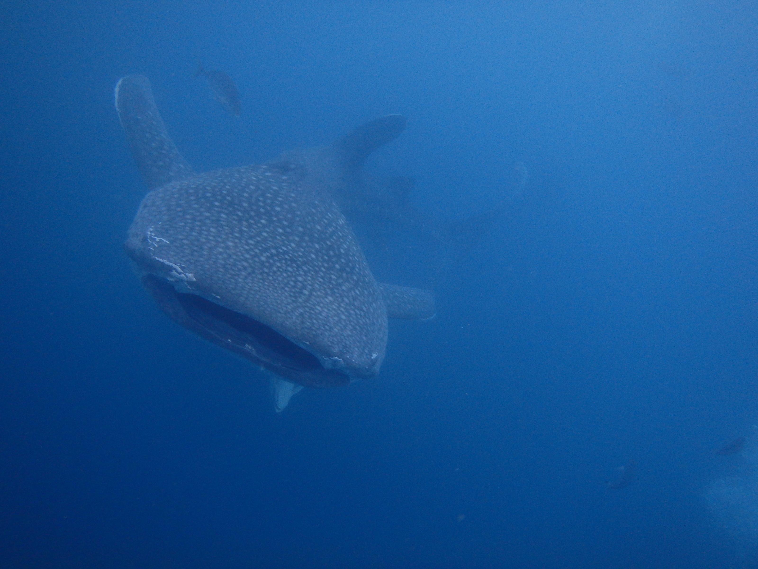 2016.4.16鯨鯊線路體驗潛水
