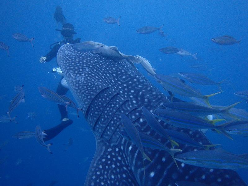2016年5月18日鯨鯊線路體驗潛水