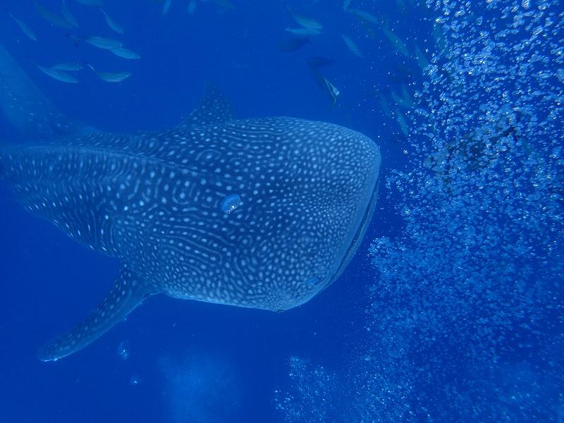 2016年6月25日鯨鯊線路體驗潛水