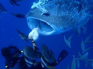 鯨鯊的體驗行程