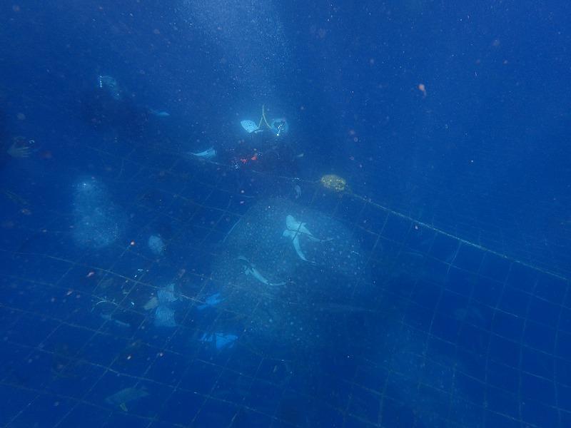 2016年6月30日鯨鯊線路浮潛