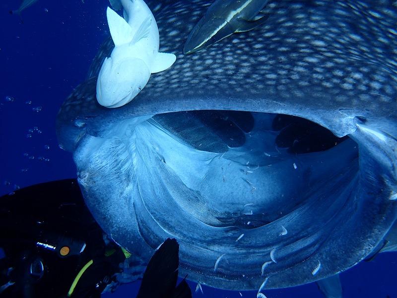 2016年9月24日鯨鯊線路體驗潛水